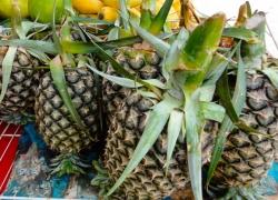 Cau Duc pineapple in Hau Giang
