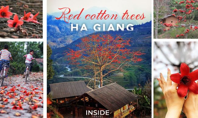 Picturesque brilliant red cotton trees in full bloom in Ha Giang Province